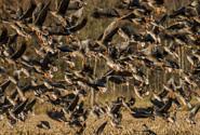 Vogelgrippe - Zugvögel nicht verantwortlich!