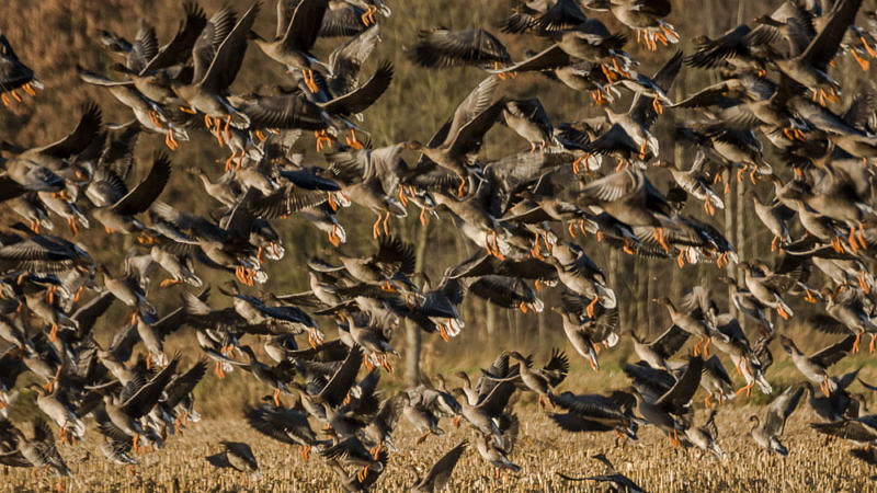 Vogelgrippe – Zugvögel nicht verantwortlich!