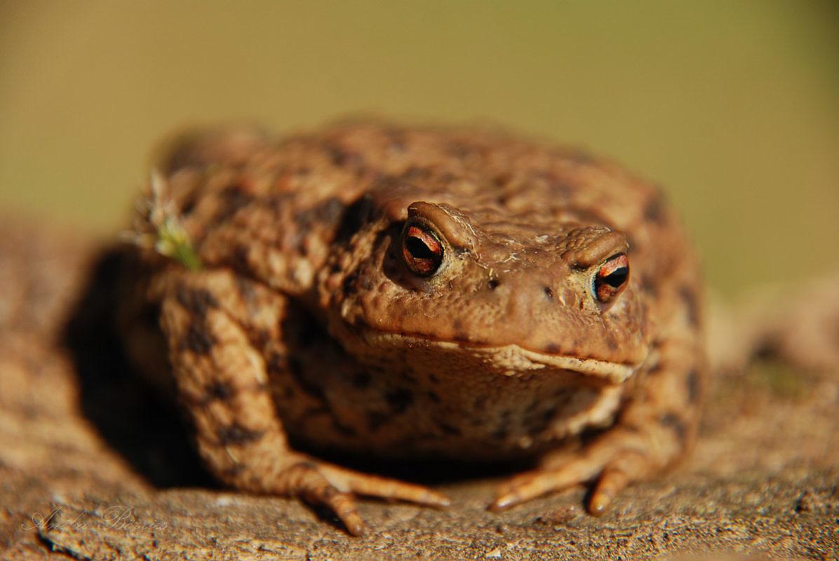 Mais und Molch versöhnen: Amphibienschutz in der Landwirtschaft