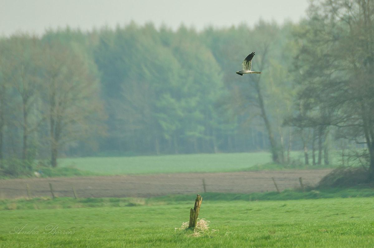 Die Wiesenweihe