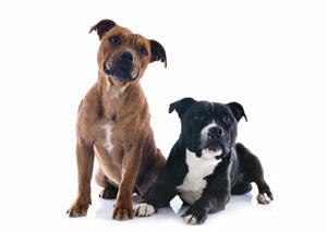 Staffordhsire Bull Terrier