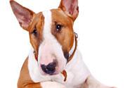 """""""Der Bullterrier ist einer der freundlichsten Hunde"""""""
