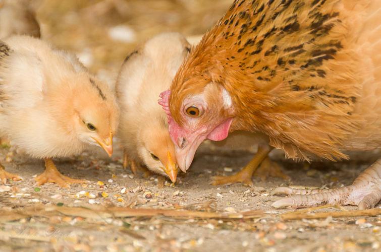 Der Einstieg in die Hühnerhaltung