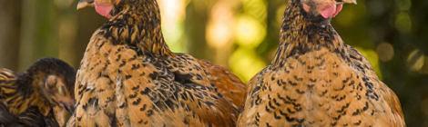 Faszinierend, wie schnell Hühner wachsen