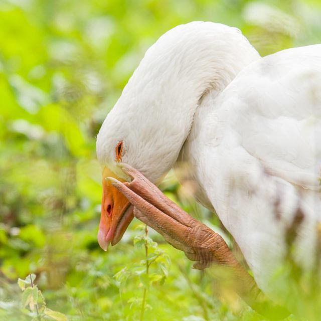 Geflügelpest hat ihren Ursprung in der Geflügelwirtschaft
