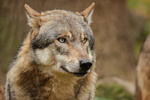 Jetzt bestätigt: Reh gerissen – Wolf war auch in der Friesischen Wehde