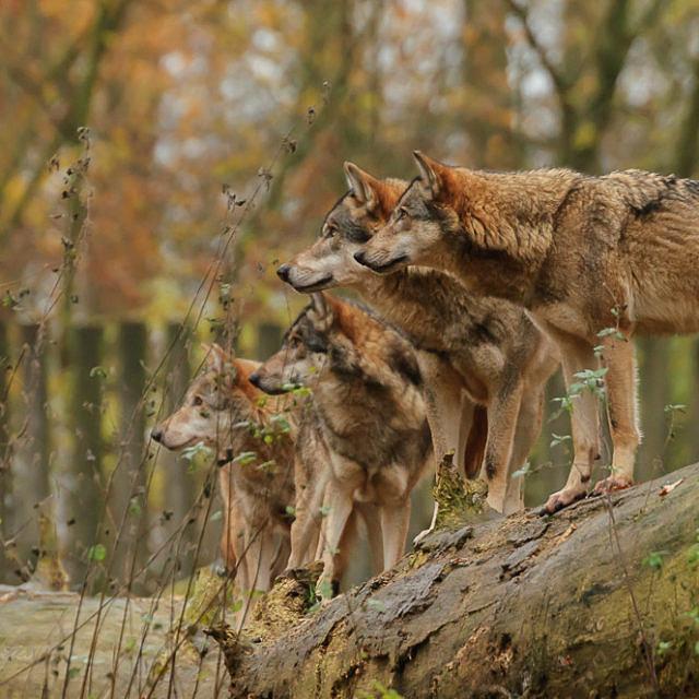 Literatur zum Thema Wolf