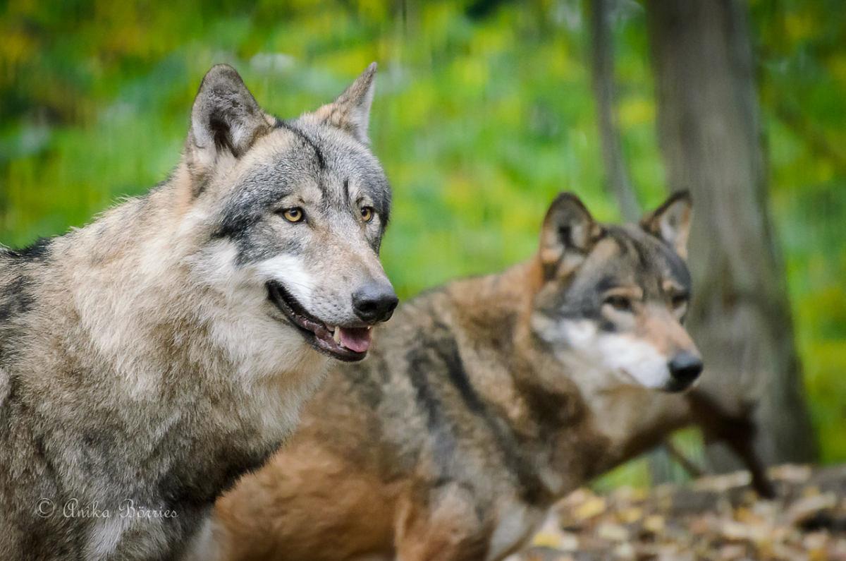 Der Wolf im Emsland – wie lebt er und wo kommt er her?