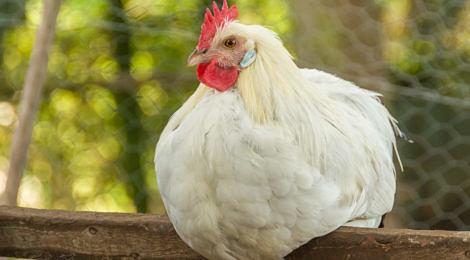 Seltene und gefährdete Hühnerrassen aus Deutschland