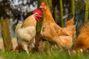 Wachsame Hühnerschar