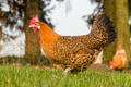 Ostfriesische Möwe – eine alte Hühnerrasse aus dem Nordwesten