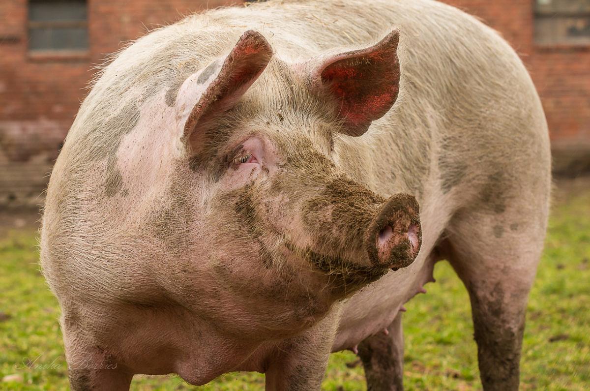 Da hat die Sau Schwein gehabt …
