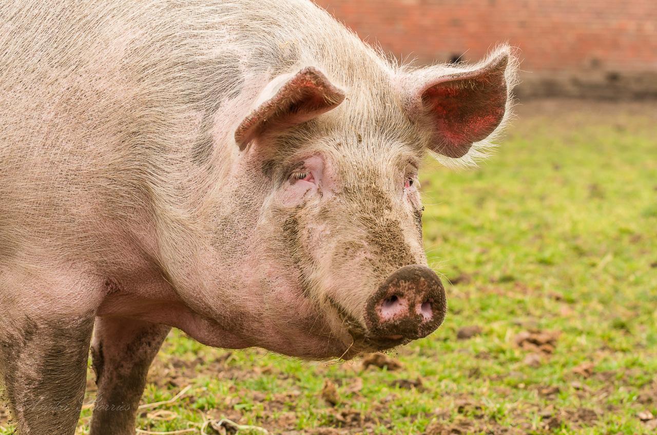 schwein als nutztier