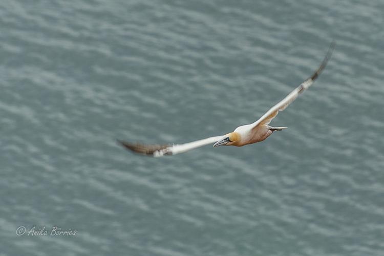 basstoelpel-meer-oktober-vogelflug-20161007-3