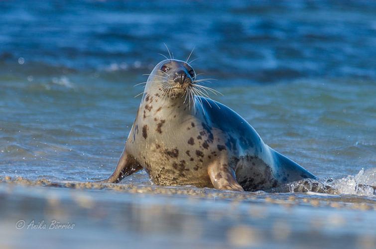kegelrobbe-nd-oktober-strand-20161004-3-2