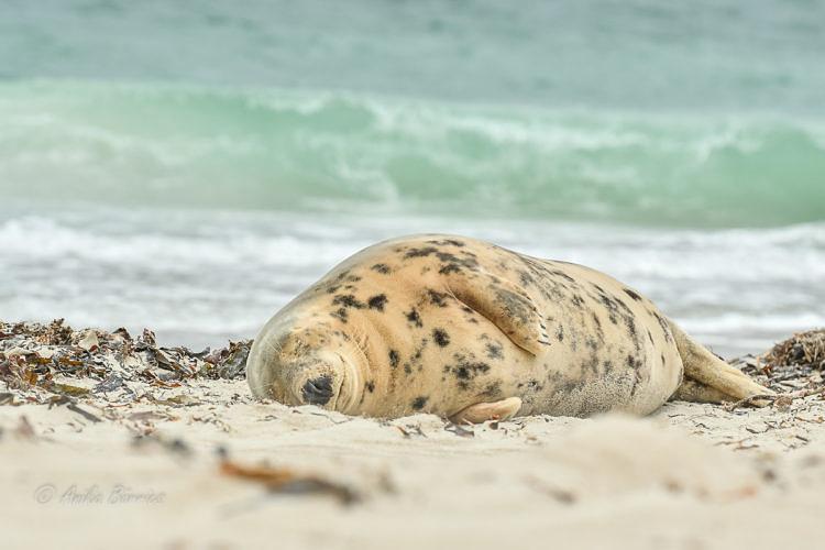 kegelrobbe-nd-oktober-strand-20161006-2-2