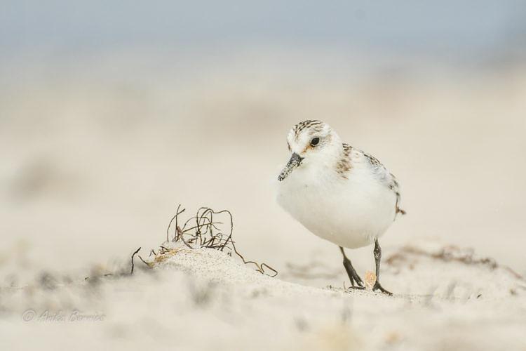 nd-oktober-sanderling-strand-20161006-2