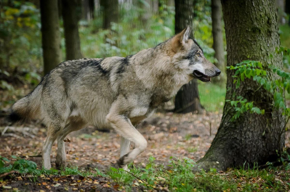 Hinweise auf den Wolf melden