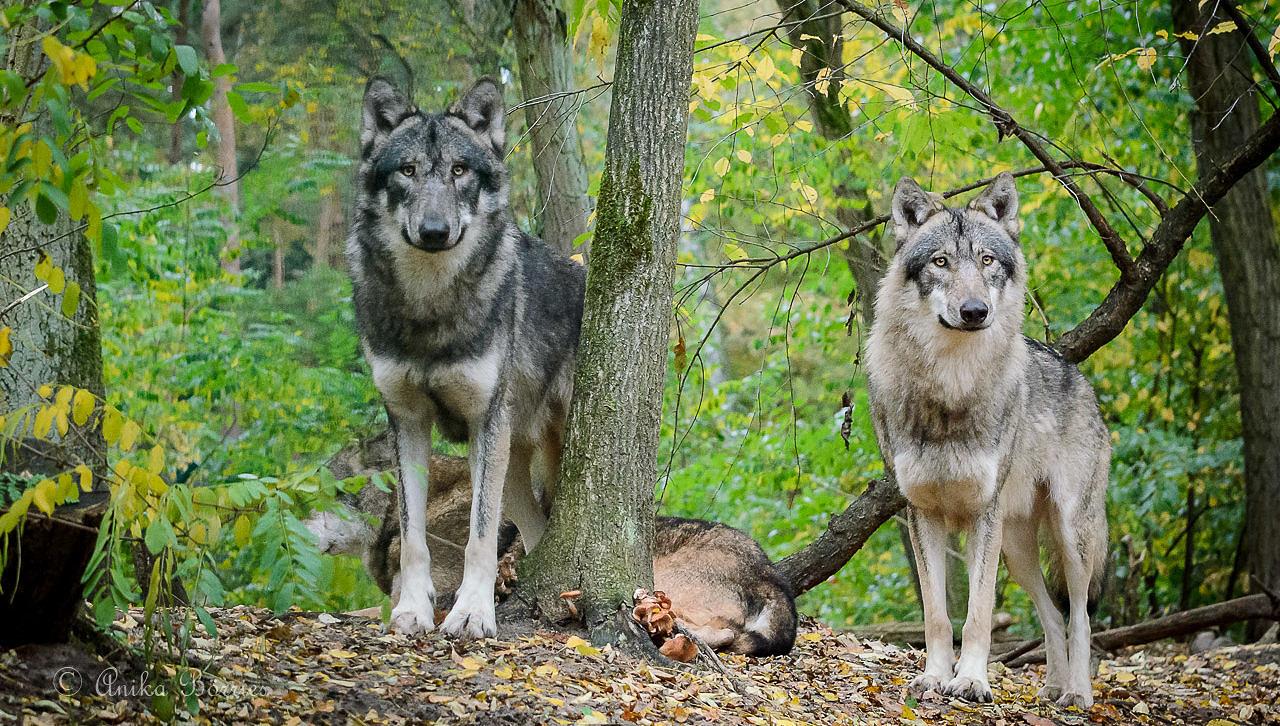 Offizielle Wolfszahlen