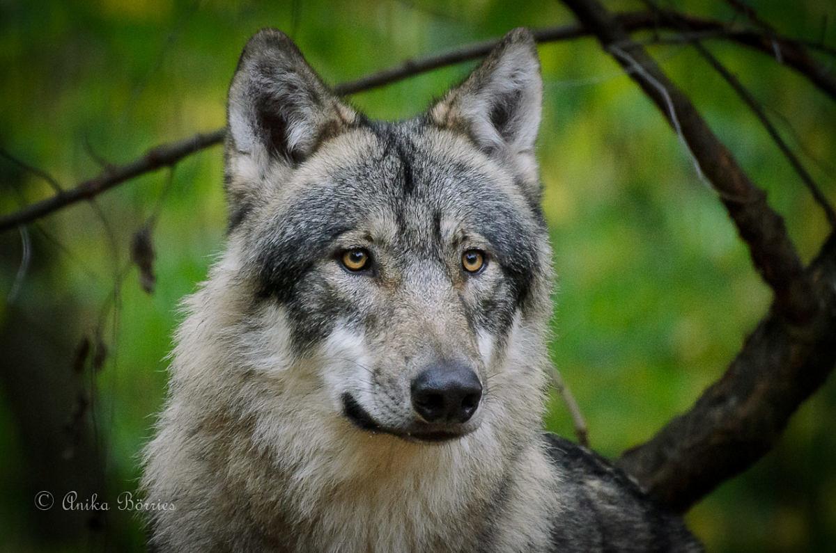 Vortrag über den Wolf im Emsland