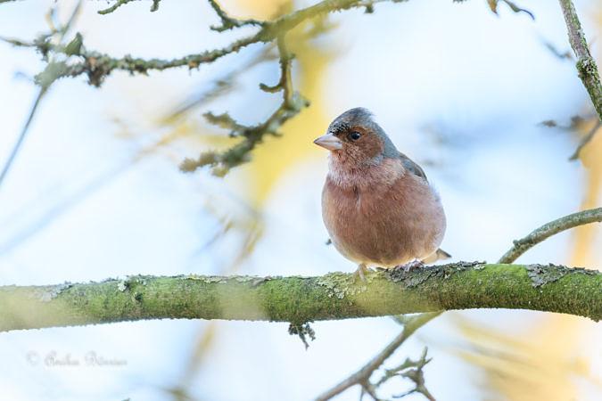 Buchfinkmännchen – Fringilla coelebs